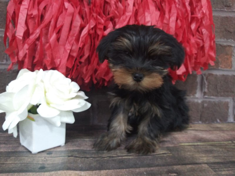 Yorkshire Terrier-Female-BLK TAN-2611083-Petland Knoxville