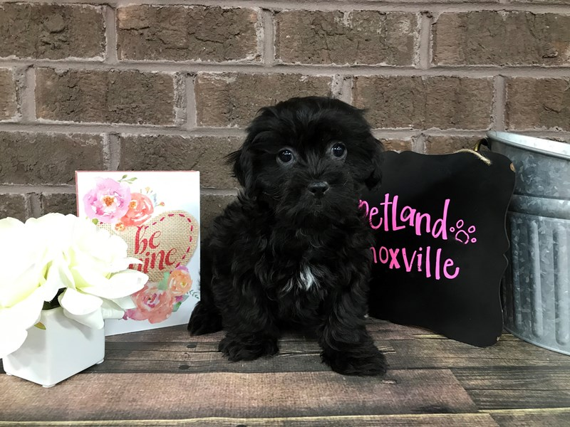 Shih Poo-Male-BLK-2618209-Petland Knoxville