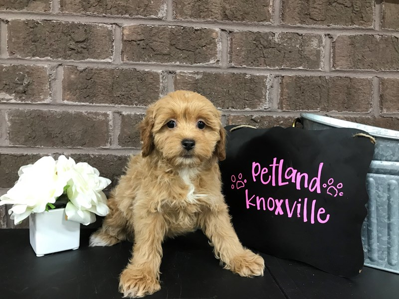 Miniature Poodle-Female-RED WHITE-2632190-Petland Knoxville