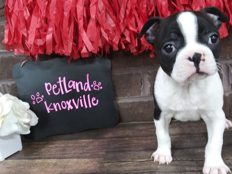 Boston Terrier-Male-BLK WH-2595667-Petland Knoxville