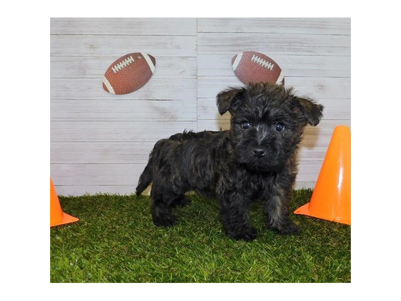Cairn Terrier-Female-Brdl-2607955-Petland Knoxville