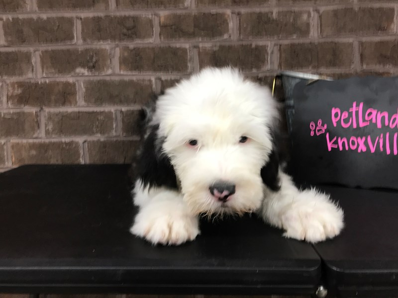Old English Sheepdog-Male-Black White-2618080-Petland Knoxville