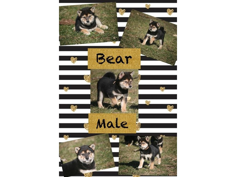 Shiba Inu-Male-Black Tan / White-2646279-Petland Knoxville