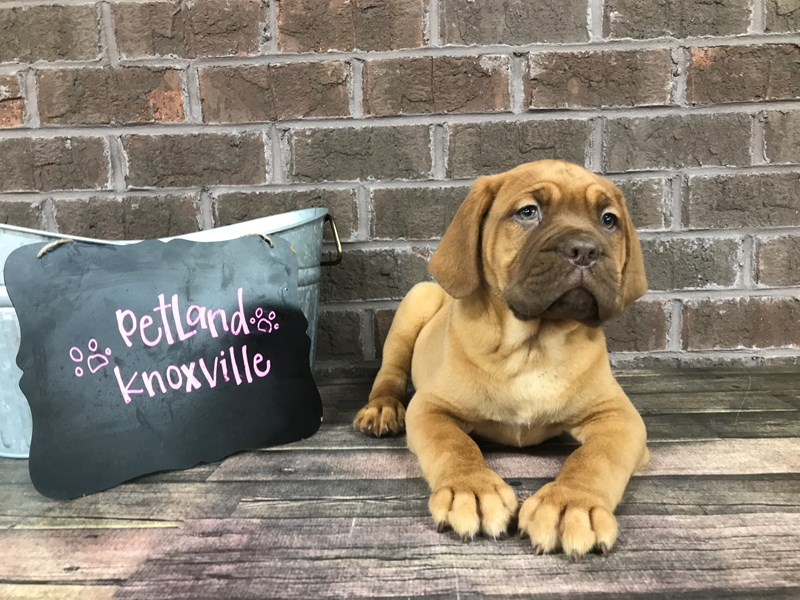 Dogue De Bordeaux-Female-Red-2645307-Petland Knoxville