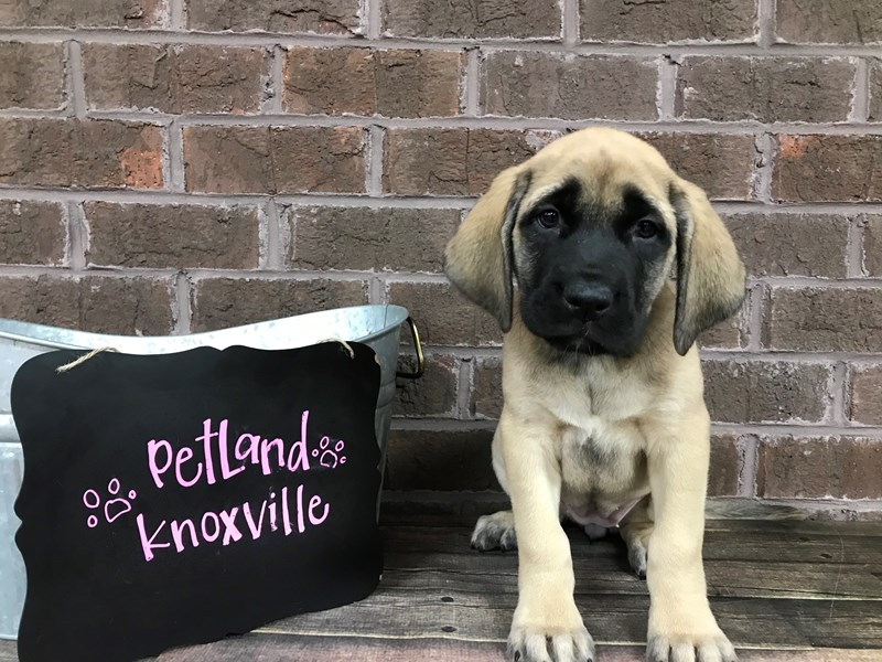 English Mastiff-Female-Fawn-2651776-Petland Knoxville