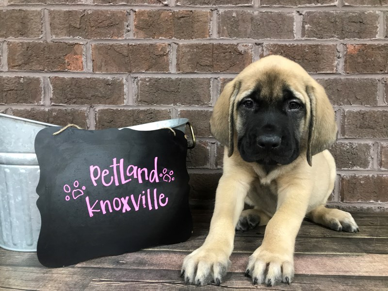 English Mastiff-Male-Fawn-2651750-Petland Knoxville