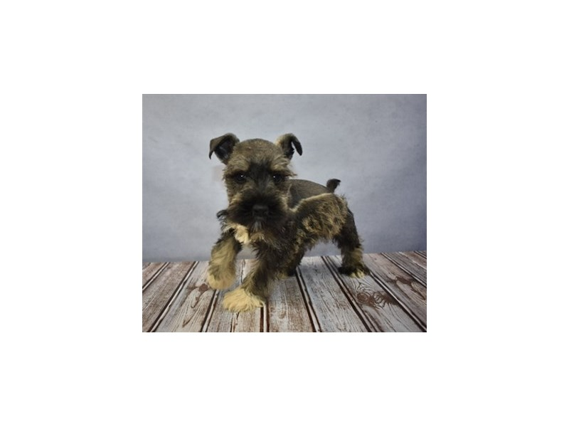 Miniature Schnauzer-Male-Black and Silver-1931010-Petland Knoxville