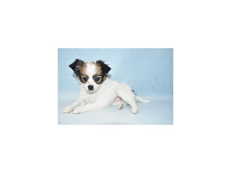 Papillon-Female-Red and White-2633631-Petland Knoxville
