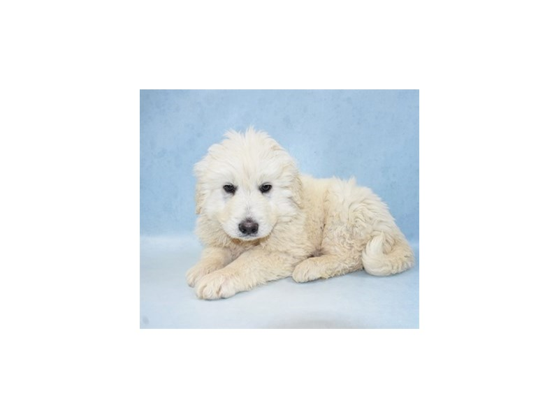 Great Pyrenees-Male-White-2633665-Petland Knoxville
