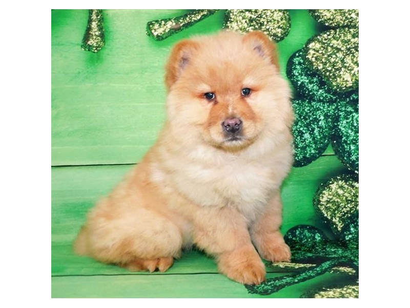 Chow Chow-Female-Red-2641136-Petland Knoxville