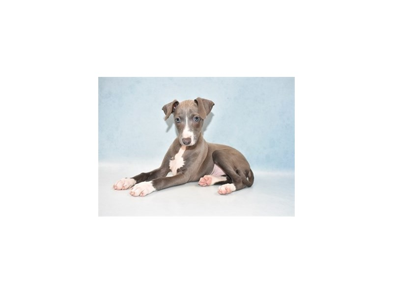 Italian Greyhound-Male-Blue-2641251-Petland Knoxville
