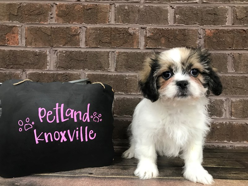 Teddy Bear-Female-Brown White-2639433-Petland Knoxville