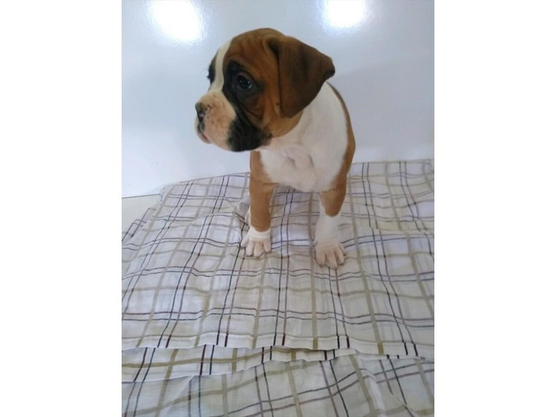 Boxer-Male-Fawn / White-2658339-Petland Knoxville