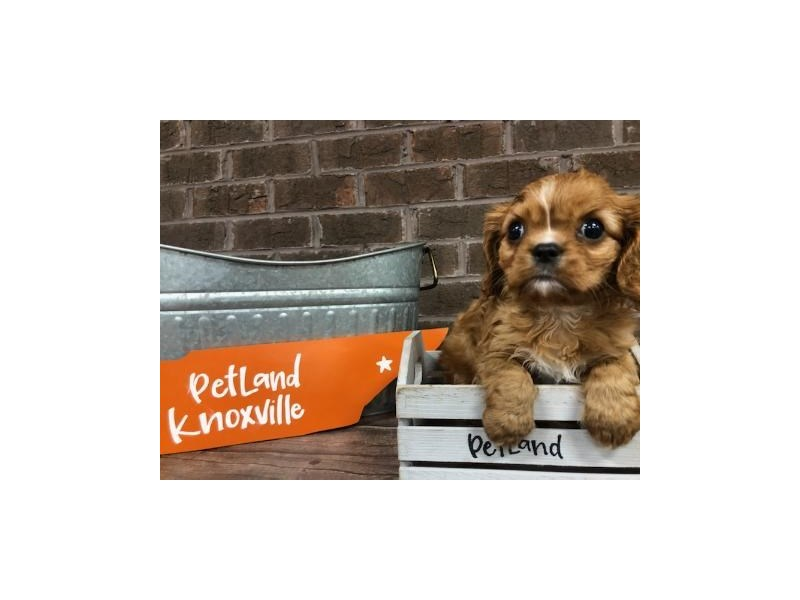 Cavalier King Charles Spaniel-DOG-Male-RUBY-2654533-Petland Knoxville