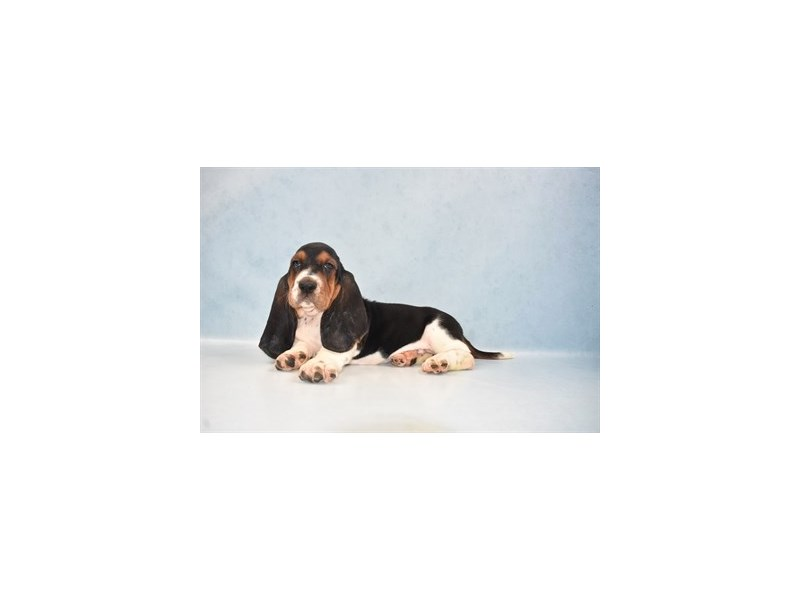 Basset Hound-Male-Black White and Tan-2662297-Petland Knoxville