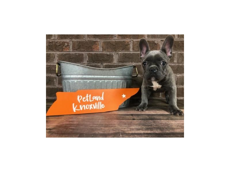 French Bulldog-Male-Blue-2643887-Petland Knoxville