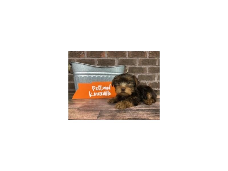 Yorkshire Terrier-Female-Choc tan-2667345-Petland Knoxville