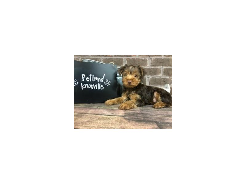 Yorkshire Terrier-Male-CHOC TAN-2667365-Petland Knoxville