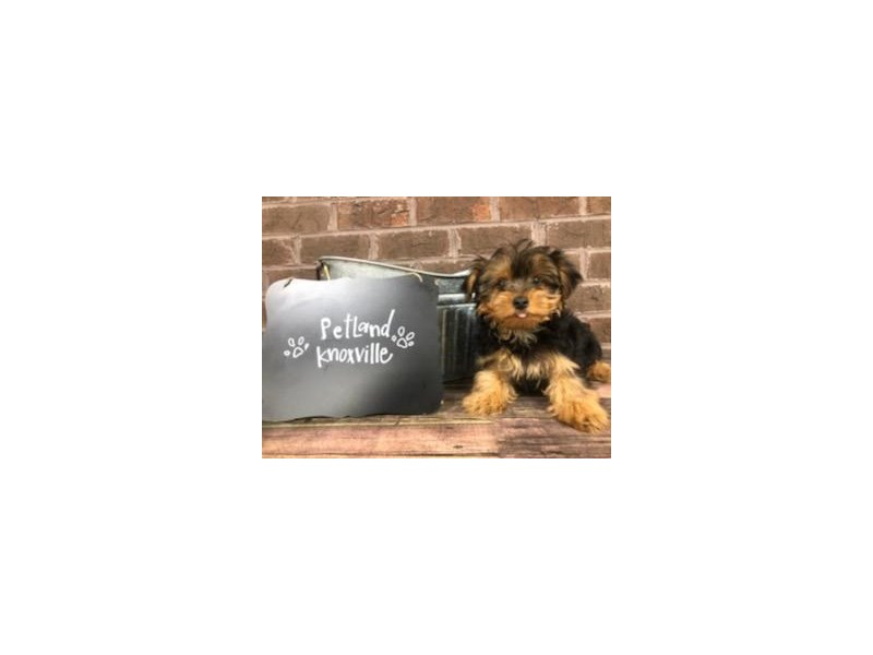 Yorkshire Terrier-Male-BLK TAN-2667660-Petland Knoxville