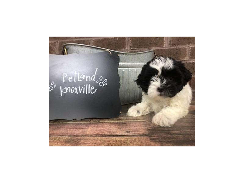 Shih Poo-Female-BLK WHITE-2667371-Petland Knoxville