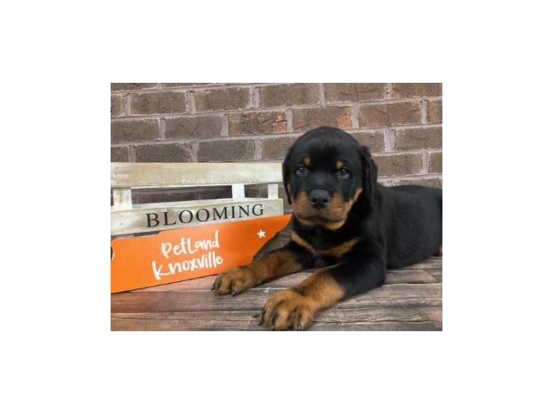 Rottweiler-Male-Black and Tan-2679798-Petland Knoxville