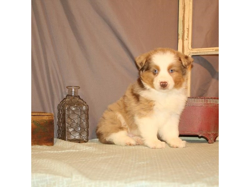 Australian Shepherd-Male-Red Merle-2696813-Petland Knoxville