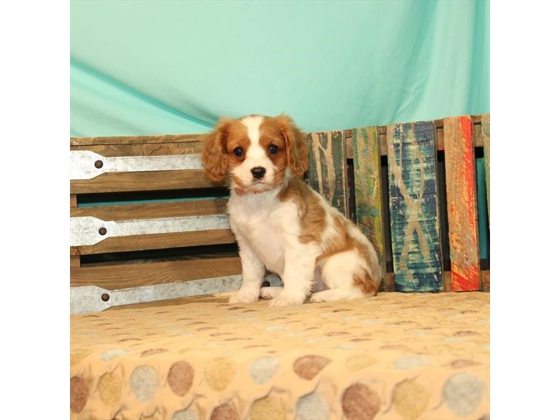 Cavalier King Charles Spaniel-Female-Blenheim / White-2696815-Petland Knoxville