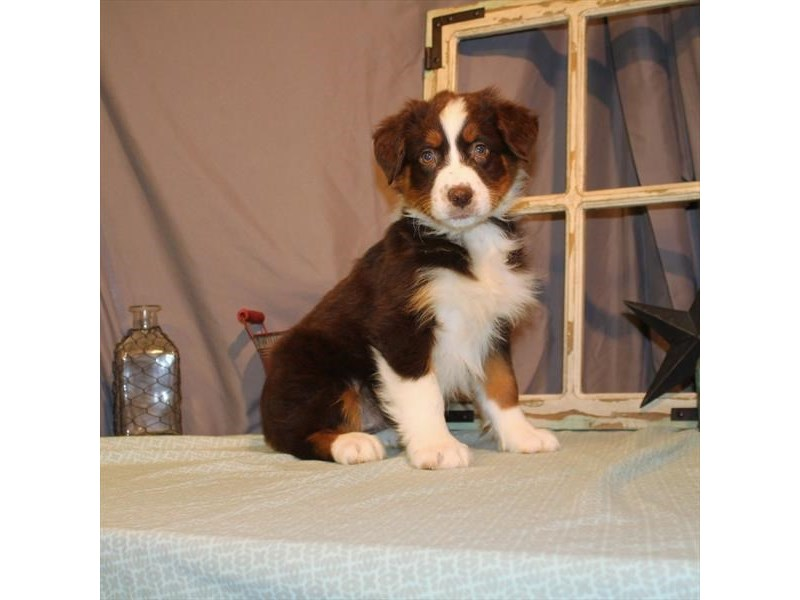 Australian Shepherd-Female-Chocolate-2701832-Petland Knoxville