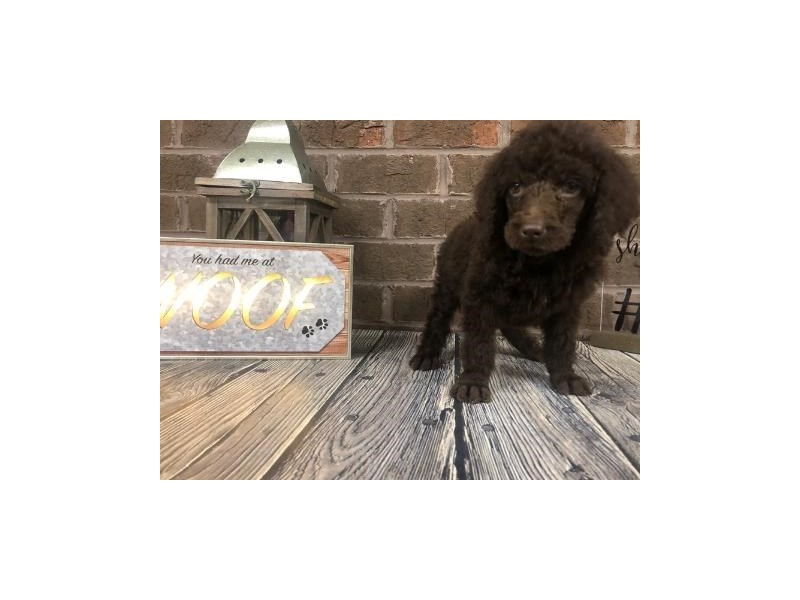 Poodle-Male-chocolate-2703644-Petland Knoxville