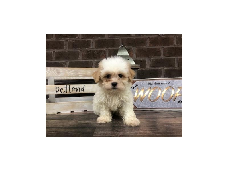 Teddy Bear-Male-Brown White-2721113-Petland Knoxville