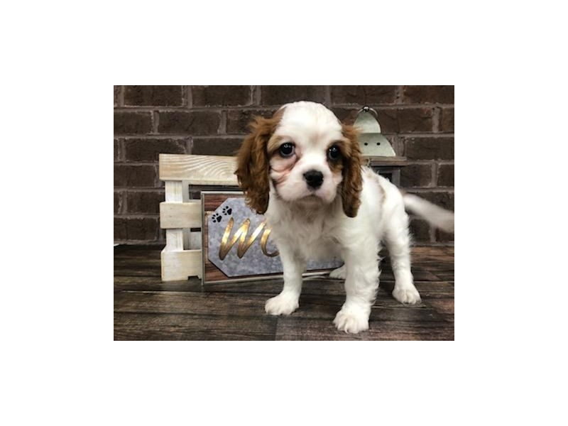 Cavalier King Charles Spaniel-Female-BLENHEIM-2721040-Petland Knoxville