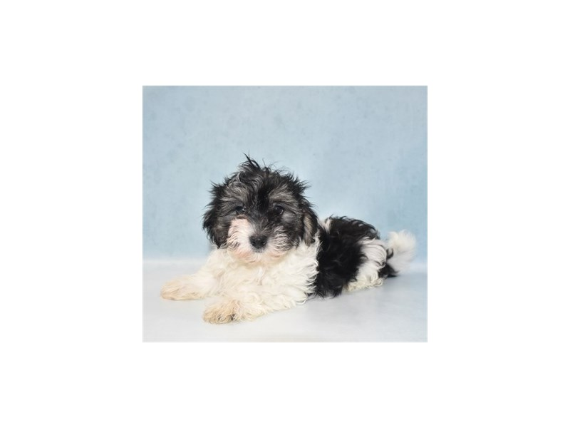 Coton De Tulear-Male-Black-2727369-Petland Knoxville