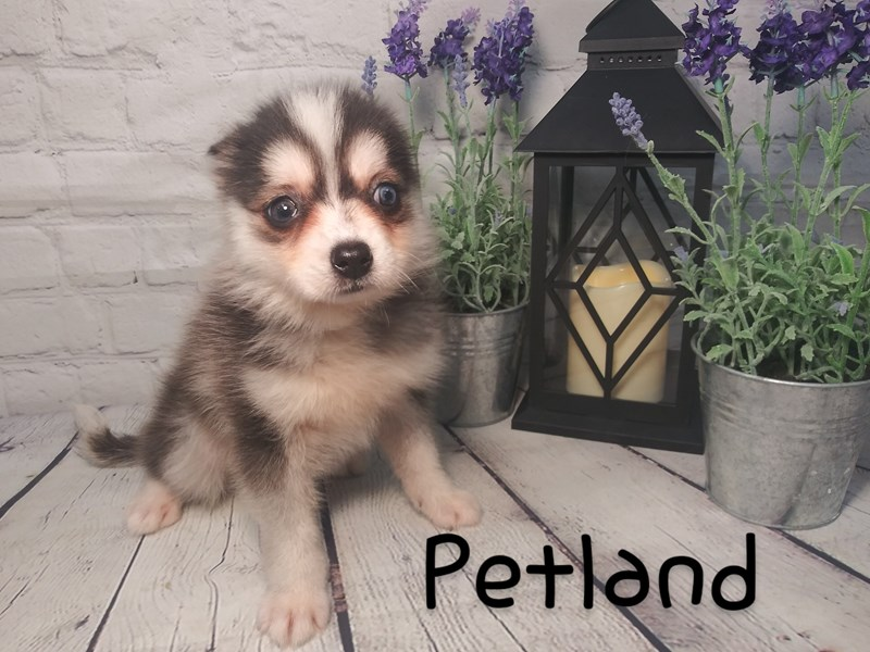 Pomsky-Female-BLK WHITE-2726946-Petland Knoxville