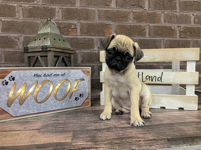 Pug-Female-Fawn-2731554-Petland Knoxville