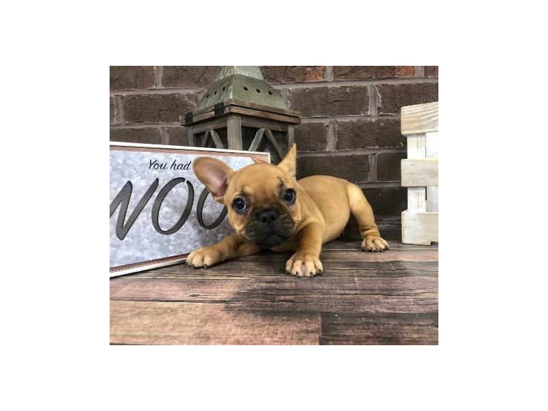 French Bulldog-Female-Fawn-2729010-Petland Knoxville
