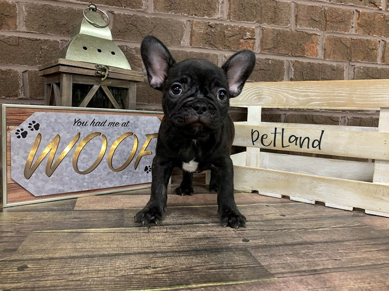 French Bulldog-Male-blk brindle-2742611-Petland Knoxville