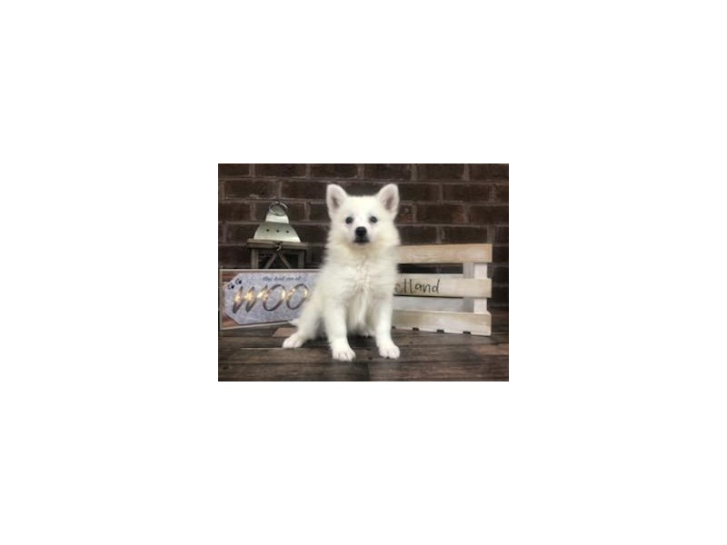 American Eskimo-Female-White-2746053-Petland Knoxville