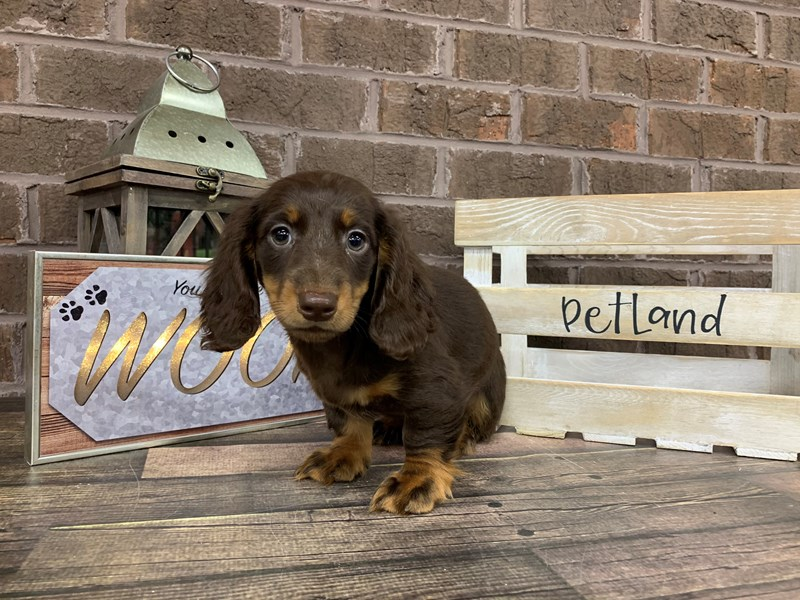 Dachshund-Male-CHOC TAN-2741280-Petland Knoxville