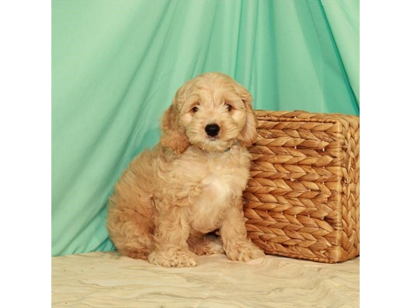 Cockapoo-Male-Buff-2759871-Petland Knoxville