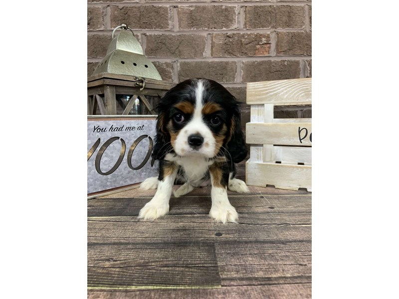 Cavalier King Charles Spaniel-Female-TRI-2756247-Petland Knoxville