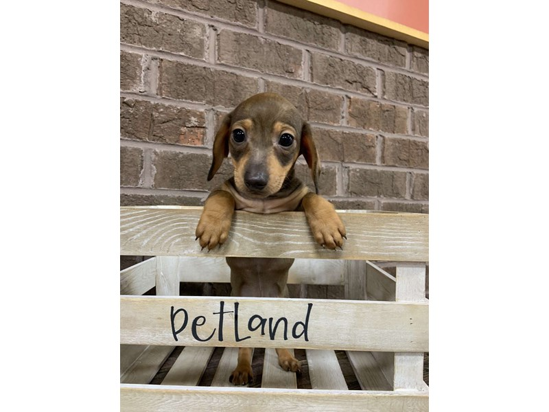 Dachshund-Male-RED-2756022-Petland Knoxville