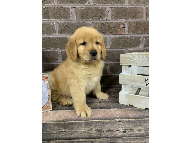 Golden Retriever-Male-Red-2756047-Petland Knoxville