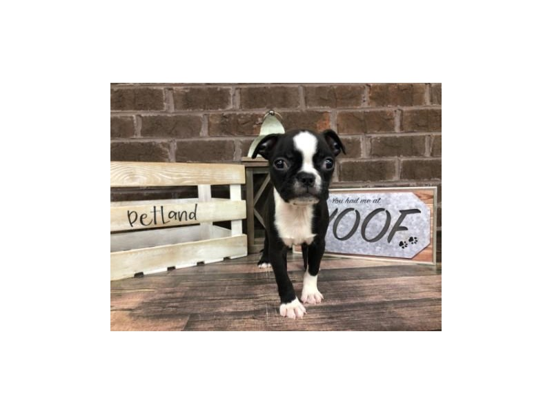 Boston Terrier-Female-RED WHITE-2771795-Petland Knoxville