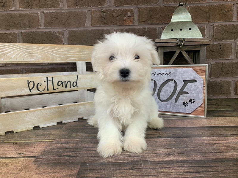 Maltese-Male-White-2781887-Petland Knoxville