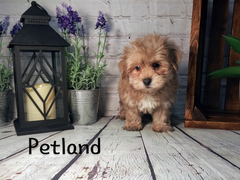 Morkie-Male-BEIGE-2779686-Petland Knoxville