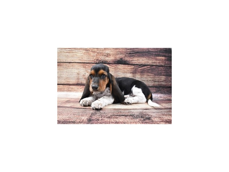 Basset Hound-Male-Black Brown and White-2788341-Petland Knoxville