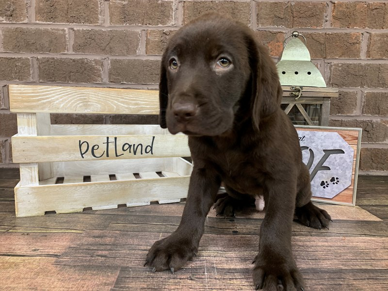 Labrador Retriever-Male-Chocolate-2779185-Petland Knoxville