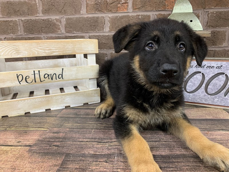 German Shepherd-Male-Black & Tan-2779027-Petland Knoxville
