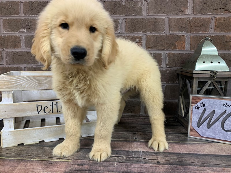Goldendoodle-Male-Cream-2779044-Petland Knoxville