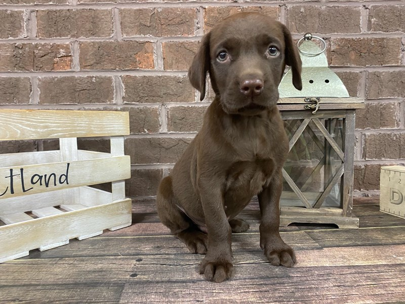 Labrador Retriever-Male-Chocolate-2801142-Petland Knoxville